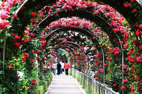 Hình ảnh của Lễ hội hoa hồng lớn nhất tại Hà Nội khai mạc 3/3 tại cv
